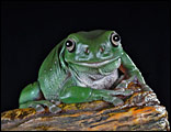 Freddo the Green Tree Frog